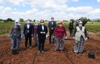 Uşak Sivaslı'da çilek üretimi artırılacak