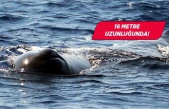 Çeşme açıklarında dev balina görüldü