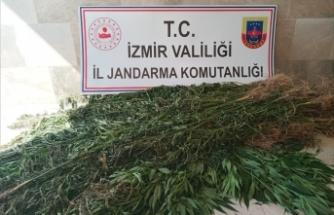 İzmir'de 3 bin 210 kök Hint keneviri ele geçirildi