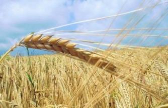 Yunanistan'dan buğday ithalatı tam 6 kat arttı