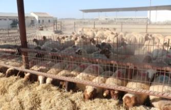 TİKA'dan KKTC'de çiftçilere küçükbaş hayvan desteği