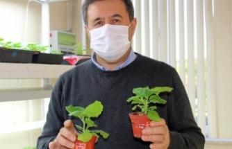 Bitki yapraklarından protein üreterek aşı geliştirdiler