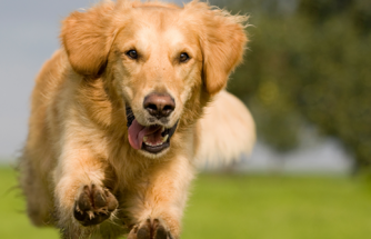Köpeklerde Ön Çapraz Bağ Kopması