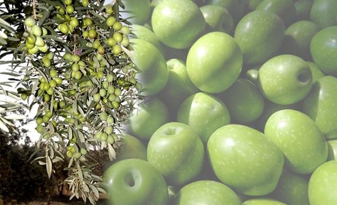 Zeytinyağından sonra sofralık zeytin ihracatı da artışa geçti
