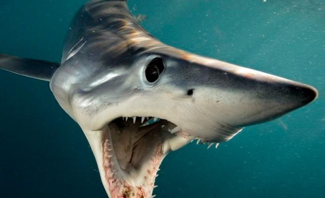 Ege'de köpek balığı alarmı!