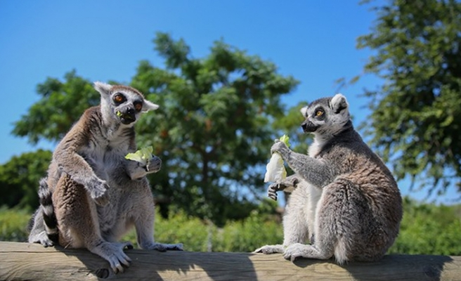 Sasalı'da hayvanlara özel 'yaz menüsü'