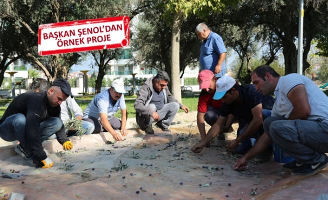 Gaziemir'de kesilecek zeytinler umut oldu