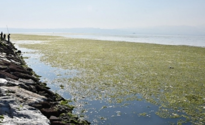 İzmir'de deniz marulu tehlikesi, zehirleyebilir!
