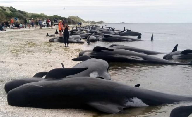 Yeni Zelanda'da balinalar ölüyor!