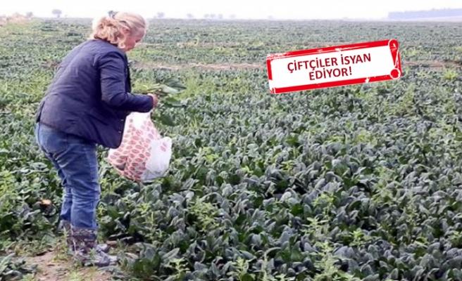 İzmir'de yüzlerce dönüm ıspanak çürümeye terk edildi!