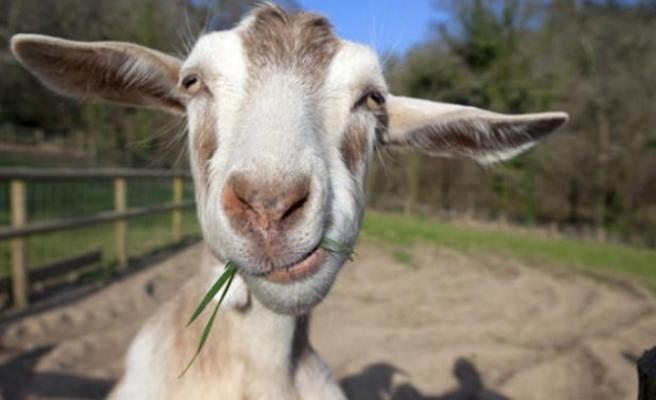 Sahibinin 20 bin Euro'sunu yiyen keçi akşam sofrayı süsledi