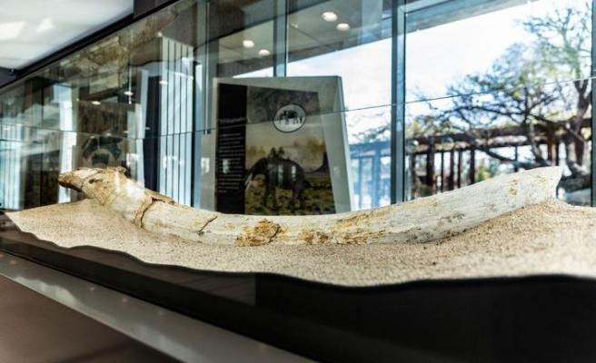 7.5 milyon yıllık fosiller sergilenmeye başlandı