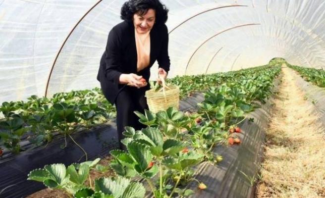 Muğla'da çilek hasadı yapıldı