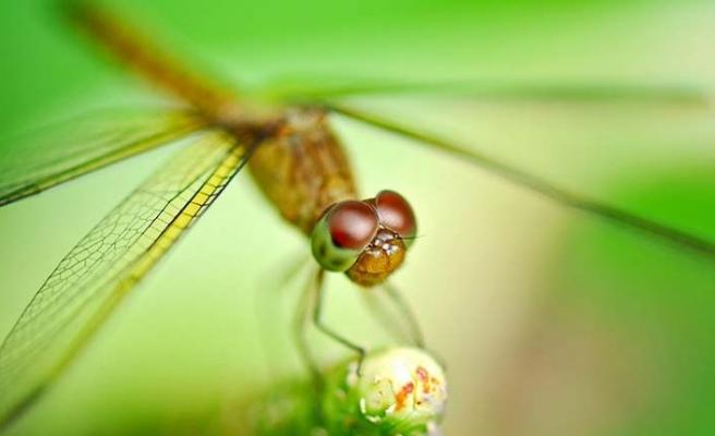Dişi yusufçuklar erkeklerden kurtulmak için ölü taklidi yapıyor!