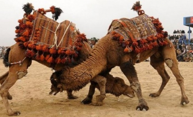 Bayındır'da deve güreşine davet
