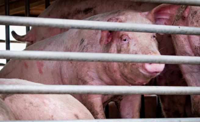 Çin'de yeni domuz gribi alarmı: Salgına dönüşebilir