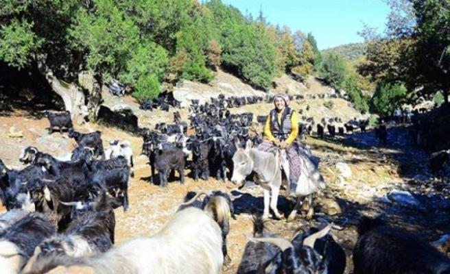 Egeli Karakeçili yörüklerinin mevsimlik göçü tamamlandı