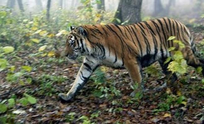 Hayvanat bahçesindeki sibirya kaplanı bakıcısını öldürdü