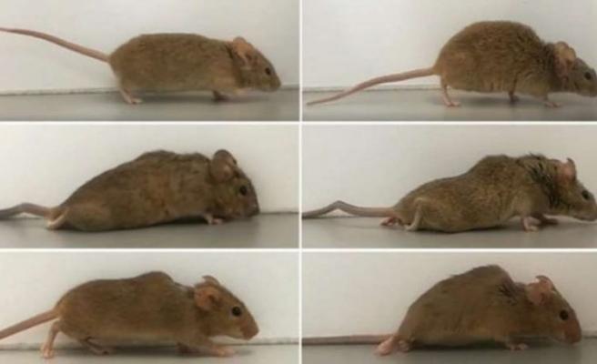 Belden aşağısı felçli olan fareler tekrar yürüdü
