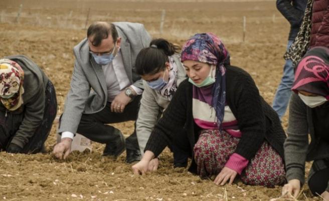 Taşköprü sarımsağının ekimi erken başladı