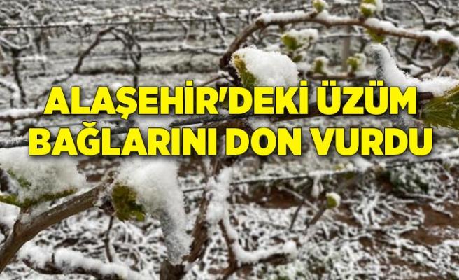 Alaşehir'deki üzüm bağlarını don vurdu