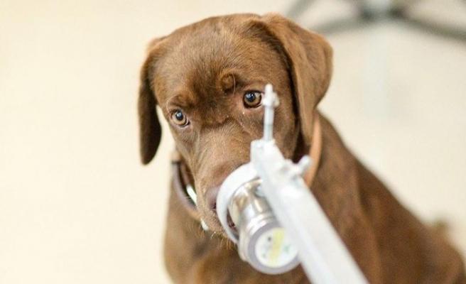 Havalimanlarında asemptomatik vakaları köpekler tespit edecek