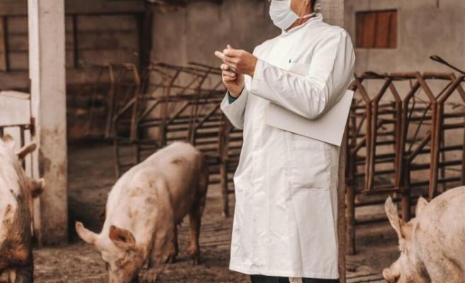 Çin'de bir çiftlikte Afrika domuz vebası saptandı