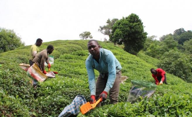 Doğu Karadeniz'e çay işçisi göçü başladı, uyarı geldi