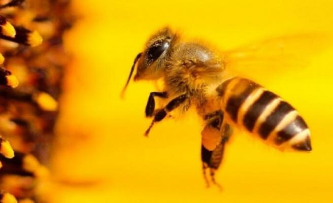 Bal arıları koronavirüsü tespit edebilir mi?