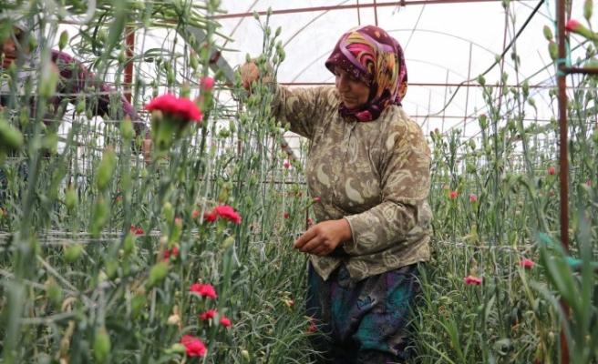 Hollanda'ya Denizli'den çiçek ihracatı
