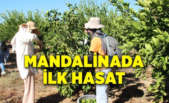 Mandalinalar ihtiyaç sahipleri için hasat edildi