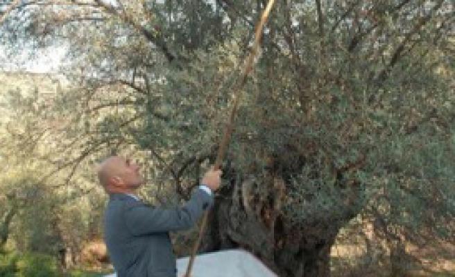 Ölümsüz Ağaçların Lezzeti Görücüye Çıkıyor
