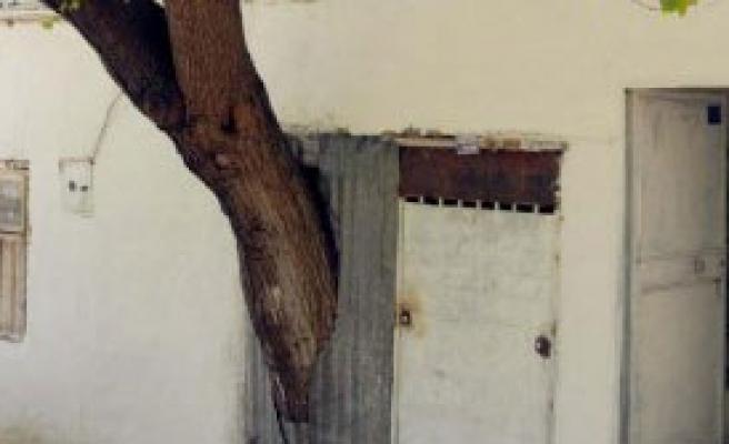 Kesmeye Kıyamadığı Dut Ağacı Evin İçinde