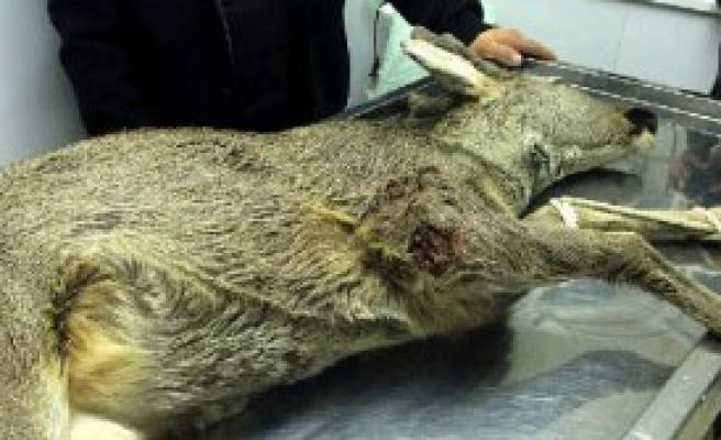 Avcıların Vurduğu Karaca Tedaviye Alındı