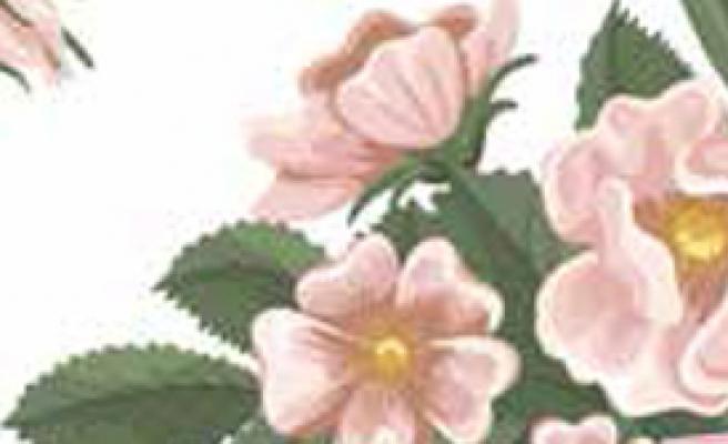 'Yaban Gülleri'
