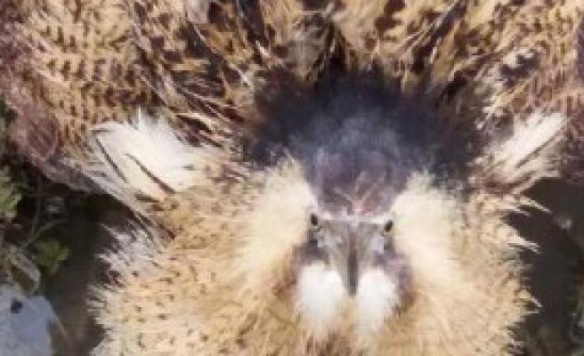 Nesli Tükenmekte Olan Balaban Kuşu
