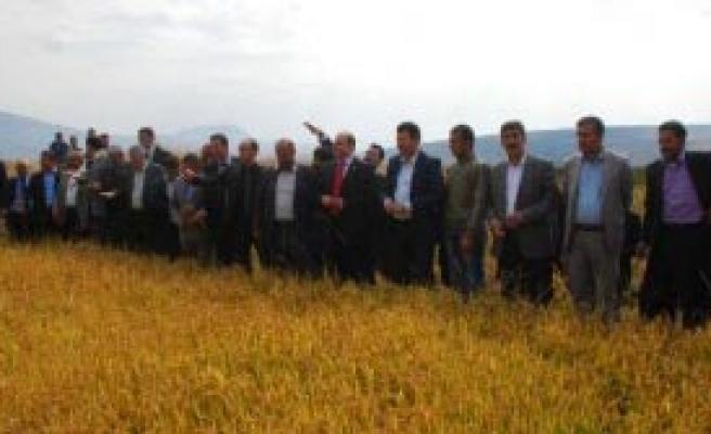 Güroymak'ta 74 Yıl Sonra Pirinç Hasadı