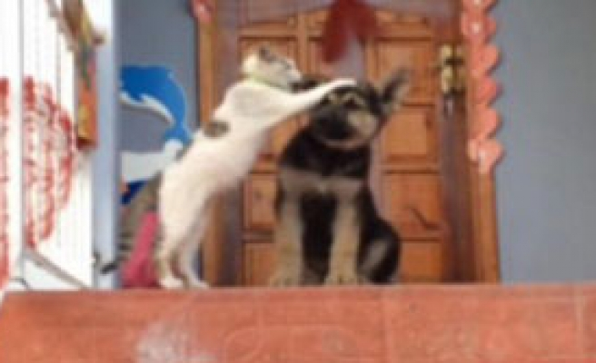 Kedi 'Boncuk'la Köpeklerin Dostluğu