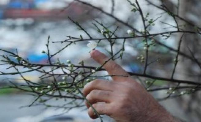 Akçakoca'da Ağaçlar Çiçek Açtı