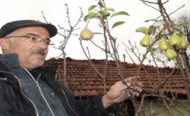 Meyve Veren Armut Ağacı Şaşırttı