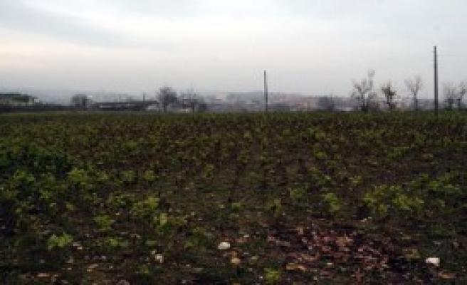 Arkeolojik Sit Alanına Tütün Ektiler