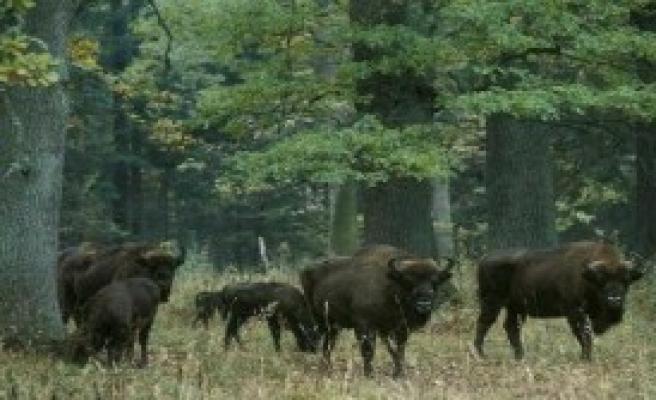 Avrupa'nın Son Bakir Ormanı Katlediliyor