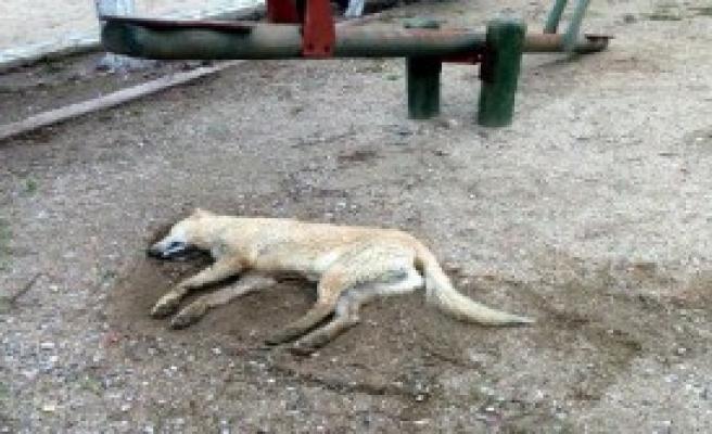 Bodrum'da 4 Köpek Daha Zelirlendi