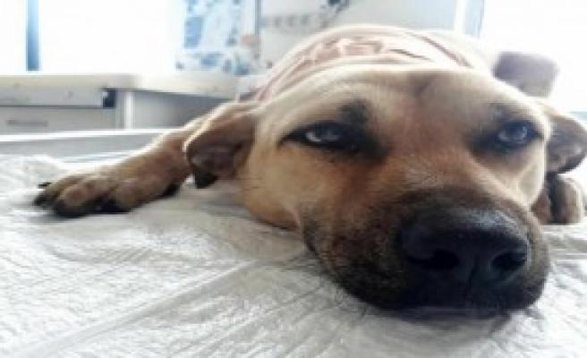 Boynu Kesilen Köpek Hayata Tutundu