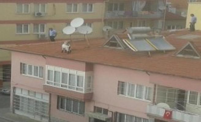 Çatıda Kurbanlık Keçi Kovaladılar