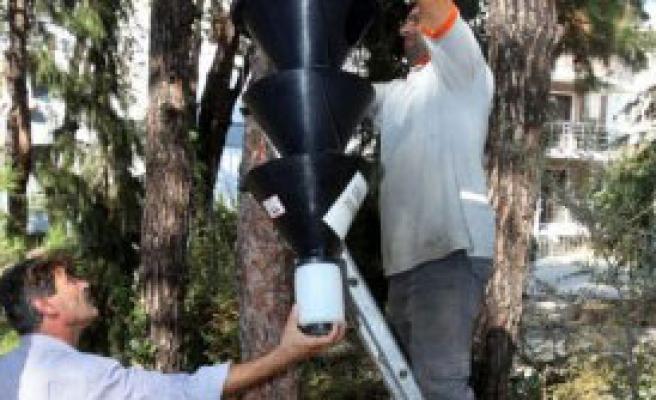 Karabağlar'da Çam Ağaçlarına Koruma