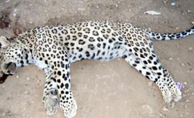 Leoparı Öldüren Köylüye Para Cezası
