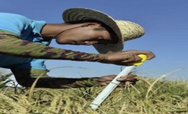 Çin'den 'Tuzlu Suda' Yetişen Pirinç