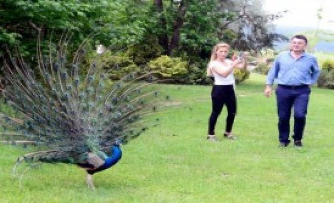 Tavus Kuşlarının Görsel Şöleni