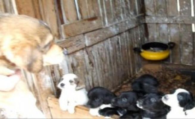 Köpek 11 Yavru Doğurdu